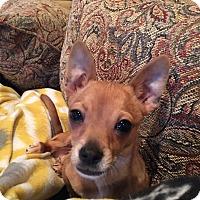 Adopt A Pet :: B Bop - Indianapolis, IN