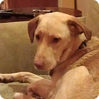 Labrador Retriever/Vizsla Mix Dog for adoption in Gig Harbor, Washington - Kyra - courtesy listing