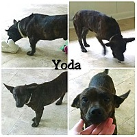 Adopt A Pet :: Yoda in Ct - Manchester, CT