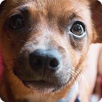 Adopt A Pet :: Jenny - Nashville, TN