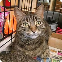 American Shorthair Cat for adoption in Pembroke, Georgia - *Nibbles