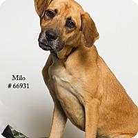 Adopt A Pet :: Milo - Baton Rouge, LA