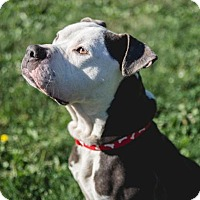 Adopt A Pet :: Thunder - Indianapolis, IN