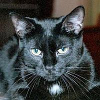 Adopt A Pet :: Precious Purring Panther - San Antonio, TX