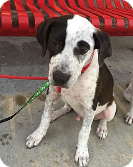 Pointer/Hound (Unknown Type) Mix Dog for adoption in Louisiana, Missouri - Colt