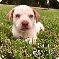 Australian Cattle Dog Puppy for adoption in Conroe, Texas - SAM