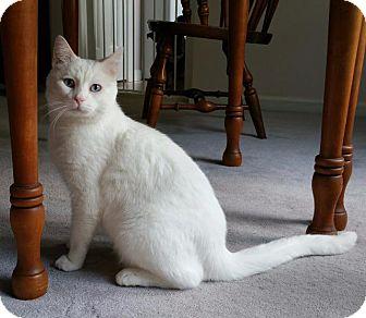 Domestic Mediumhair Cat for adoption in Fenton, Missouri - Romeo