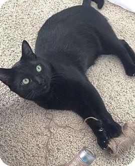 Domestic Shorthair Cat for adoption in Arlington/Ft Worth, Texas - Morgan Freeman