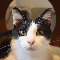 Domestic Shorthair Cat for adoption in Lincoln, Nebraska - Mischief