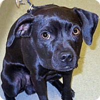 Chihuahua Mix Dog for adoption in Wildomar, California - Smudge