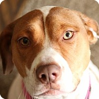 Adopt A Pet :: PRINCESS BELLE - Purfect Family Pet! Loves Kids! - Chandler, AZ