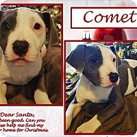 American Bulldog/Labrador Retriever Mix Puppy for adoption in Ringwood, New Jersey - Comet