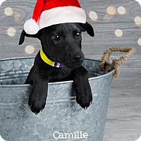 Adopt A Pet :: Camille - Denver, CO