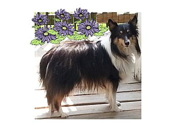 Sheltie, Shetland Sheepdog Dog for adoption in Mission, Kansas - Andrew (Andy)