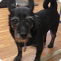 Adopt A Pet :: Papa Merlin - Brattleboro, VT