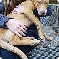 Adopt A Pet :: Starla - Reisterstown, MD