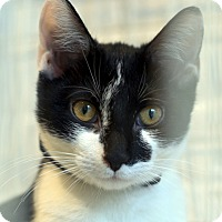 Adopt A Pet :: Little Star - Brooklyn, NY