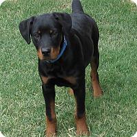 Adopt A Pet :: Buddy - Yucaipa, CA