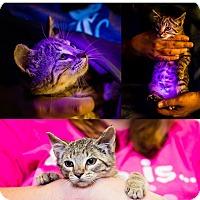 Adopt A Pet :: Uhura NO FEE Glow Kitty - Fredericksburg, VA
