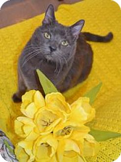 Domestic Shorthair Cat for adoption in Manchester, Connecticut - Dusty