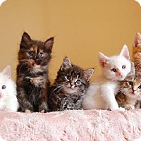 Adopt A Pet :: KITTENS!!! - Indianapolis, IN