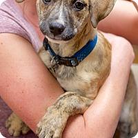Adopt A Pet :: Duke - PORTLAND, ME