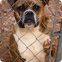 Adopt A Pet :: Charm - Greenville, SC