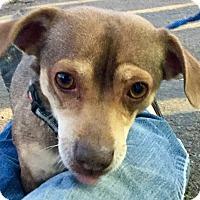 Adopt A Pet :: Loverboy - Phoenix, AZ