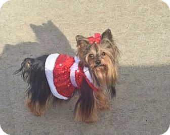 yorkie rescue missouri bridgeton mo yorkie yorkshire terrier meet princess 2 2145