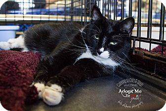 Domestic Shorthair Cat for adoption in Mooresville, North Carolina - A..  Chaselynn