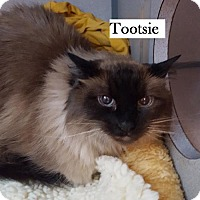 Adopt A Pet :: Tootsie - Lakewood, CO