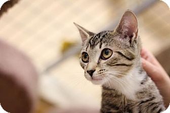 Domestic Shorthair Cat for adoption in Cary, North Carolina - Haley
