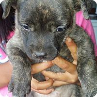 Adopt A Pet :: puppy 7 (RC) - Santa Ana, CA