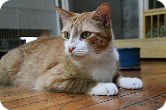 Domestic Shorthair Cat for adoption in Brooklyn, New York - Simba