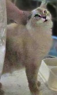Himalayan Cat for adoption in Clifton Forge, Virginia - Tiger