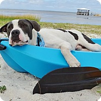 American Bulldog Mix Puppy for adoption in Port St. Joe, Florida - Bandit