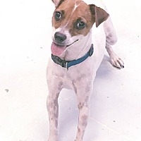 Jack Russell Terrier Mix Dog for adoption in Flossmoor, Illinois - Joanie
