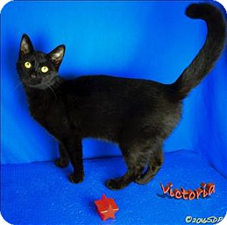 Domestic Shorthair Cat for adoption in Sherwood, Oregon - Victoria