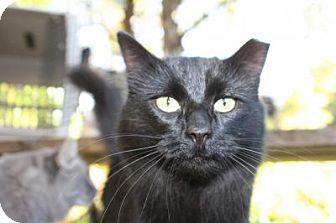 Domestic Shorthair Cat for adoption in Logan, Utah - Luna