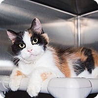 Domestic Mediumhair Cat for adoption in Seville, Ohio - Rapunzel