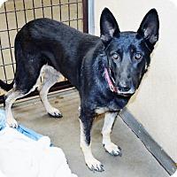 Adopt A Pet :: German Shep fem X - San Jacinto, CA