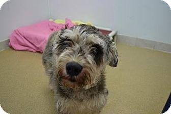 Schnauzer (Standard) Mix Dog for adoption in Miami, Florida - Jenga