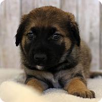 Adopt A Pet :: Cody - Waldorf, MD
