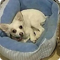 Adopt A Pet :: Liliana - Glendale, AZ