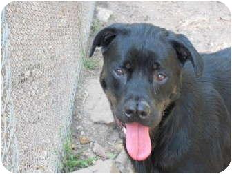 Rottweiler labrador retriever mix dog for adoption in for Dog house for labrador retriever