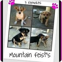 Adopt A Pet :: Moutain Feist Pupppies - Houston, TX