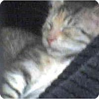 Adopt A Pet :: Cookie - Island Park, NY
