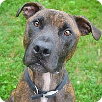 Adopt A Pet :: Styles - Springfield, IL