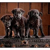 Adopt A Pet :: Cleutus - Owensboro, KY