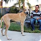 Adopt A Pet :: Goliath
